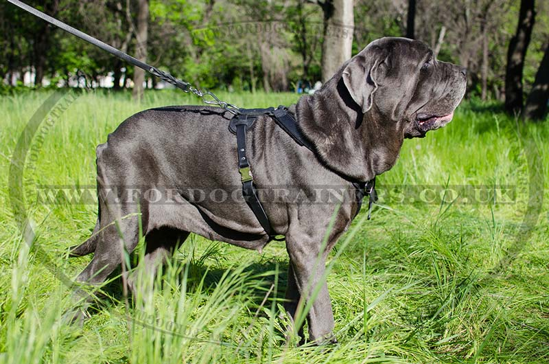 italian mastiff training harness. Multi-Purpose Leather Dog ...