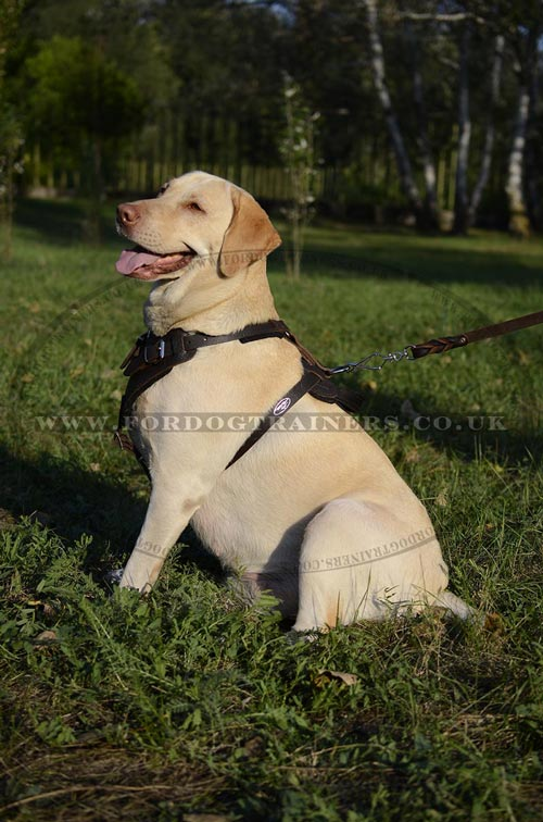 Labrador harness UK