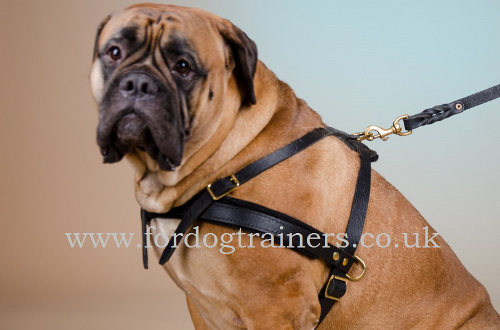 Pulling dog harness for Bullmastiff