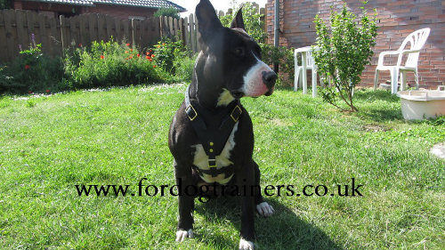 medium leather dog harness UK