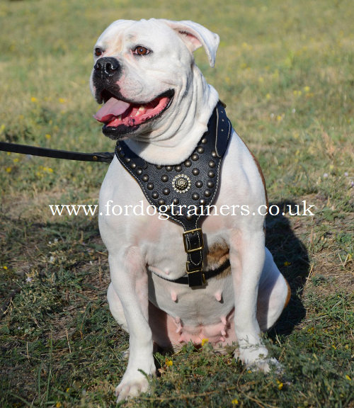 Studded dog harness for American Bulldog
