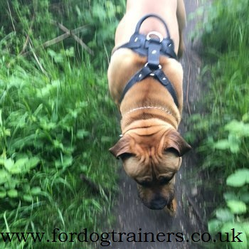 presa canario harness uk