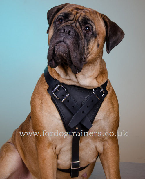 padded dog harness for bullmastiff training