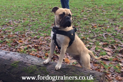 bullmastiff dog training harness