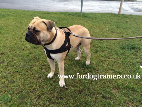 bullmastiff training dog harness