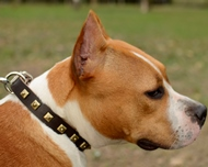 Beautiful Studded Leather Collar for Staffordshire Bull Terrier