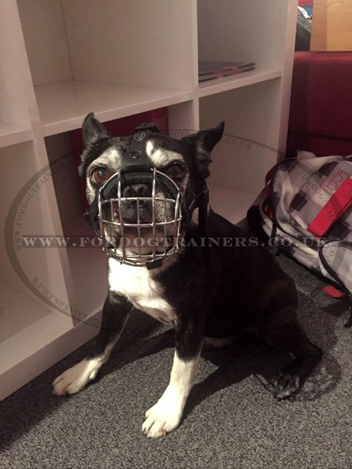 Boston Terrier Muzzle for Flat Nosed Dogs