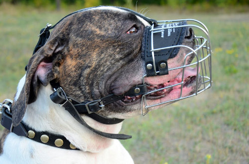 Wire Basket Muzzle for American Bulldog