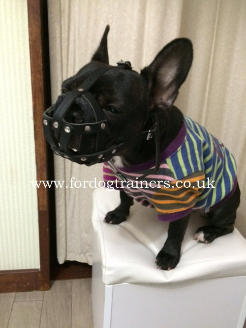 French Bulldog muzzle