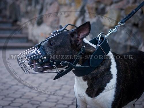 English Bull Terrier Muzzle Size