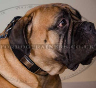 Elegant Dog Collar Leather with Brass | Collar for Bullmastiff