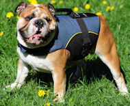 English Bulldog Harness with Handle | Dog Coat for Outdoors