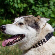 Leather Collars with Square Rivets for Husky Style