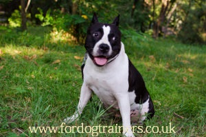 Staffordshire Bull Terrier Information
