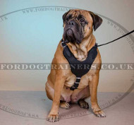 Large Dog Harness for Sale | Bullmastiff Harness