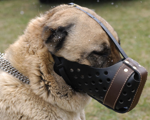 K9 muzzle for Caucasian Shepherd training