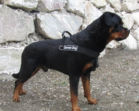 Rottweiler Harness UK