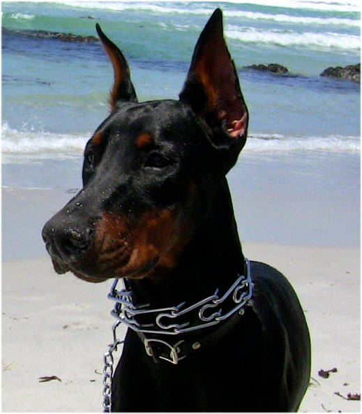 Pinch collar for Doberman
