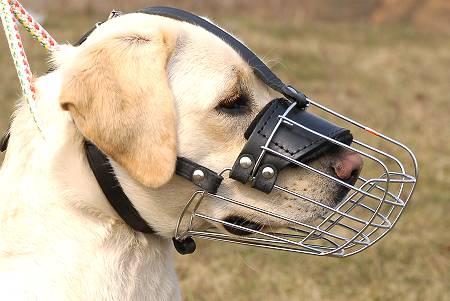 labrador muzzle
