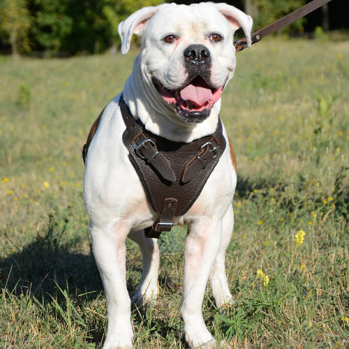 Leather Dog Harness for American Bulldog | Dog Training Harness