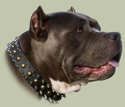 spiked-studded dog collar for Amstaff