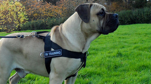 Strong Nylon Dog Harness for Boerboel Walking and Training, Non Pull