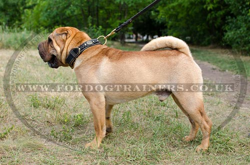 Royal Dog Collar for Shar Pei Dog Breed