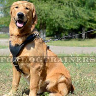 Golden Retriever Padded Leather Dog Harness