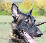 New Dog Collar for Belgian Malinois - Brass Plated Design