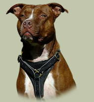 Comfortable Staffy Dog Harness for Walking and Tracking