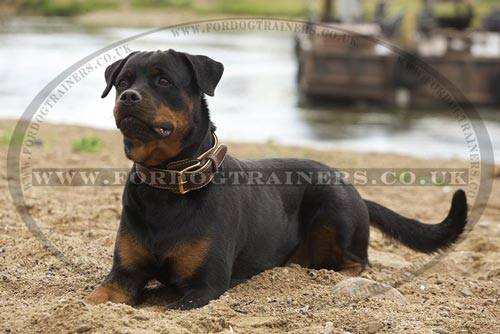 Rottweiler dog accessories