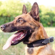 Belgian Shepherd Malinois Dog Collar with Soft Lining