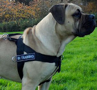 Nylon Dog Harness for Boerboel Walking and Training, Non Pull