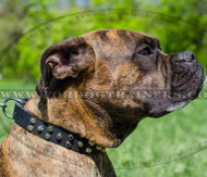 Boxer Dog Collar with Buckle | Genuine Leather and Studs