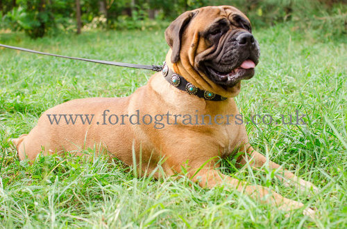 Bullmastiff Collar UK