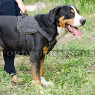 Perfect Dog Harness for The Great Swiss Mountain Dog!